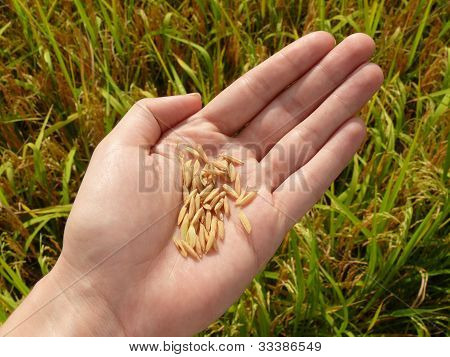 Fresh rice grains from an asian paddy field in hand