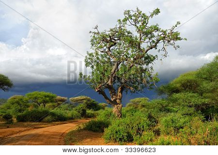 Sausage Tree Along Dirt Road