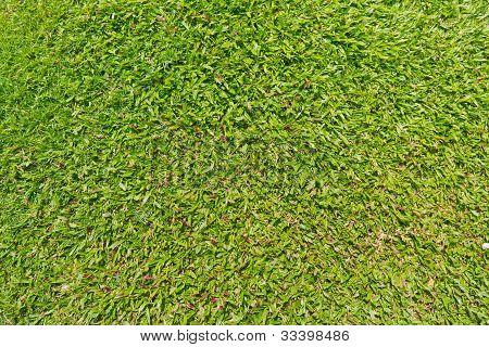 Natural Outdoor Green Grass