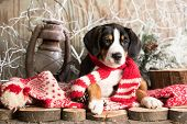 puppy Appenzeller Mountain dog  in red scarves handmade poster