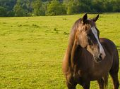 stock photo of brown horse  - Horse in Beautiful Green Field in British Summer Morning - JPG