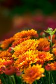 Vibrant, Orange Mum Flowers Bloom In Early Fall. poster