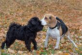 Cute Zwergschnauzer Puppy And Beagle Puppy Are Playing In The Autumn Park. Pet Animals. poster