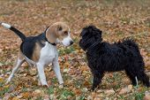 Cute Miniature Schnauzer Puppy And Beagle Puppy Are Playing In The Autumn Park. Pet Animals. poster