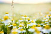 Chamomile Flowers Field Background. Beautiful Natural Blooming Medicinal Chamomile In Field. Alterna poster
