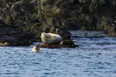 Spotted Seal (largha Seal, Phoca Largha) Looking At You From Water. Another Blurred Seal Lays On The poster