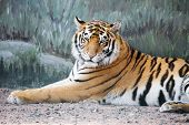 Tiger Imposingly Lies And Rests, Beautiful Powerful Big Tiger Cat (amur Tiger). Tiger Look. Big Cat. poster
