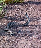 stock photo of western diamondback rattlesnake  - two western diamondbacks in a mating tussle