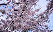 Delicate And Beautiful Cherry Blossom Against Blue Sky Background. Sakura Blossom. Japanese Cherry B poster
