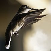 Macro Image Of A Hummingbird Hovering In Flight While Lit By Golden Hour Sunlight poster