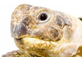 foto of testudo  - head and face of a tortoise  - JPG