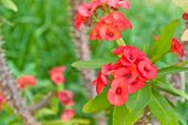 image of poi  - Poi Sainred flowers is blooming in garden - JPG