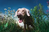 Happy Brown Dog Standing In Nature. Sunny Day poster