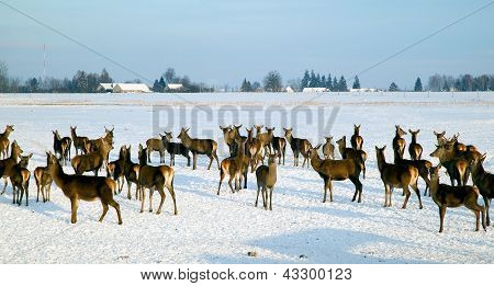 A Deer Herd In Winter