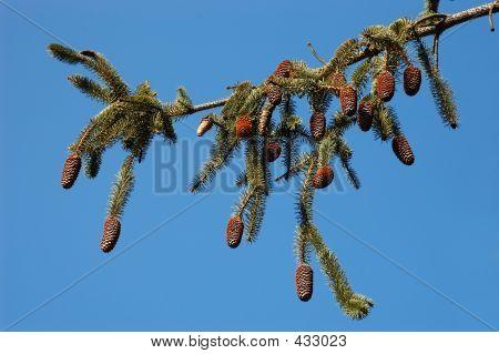 White Pine Branch