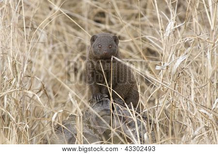 Common Mongoose in the grass