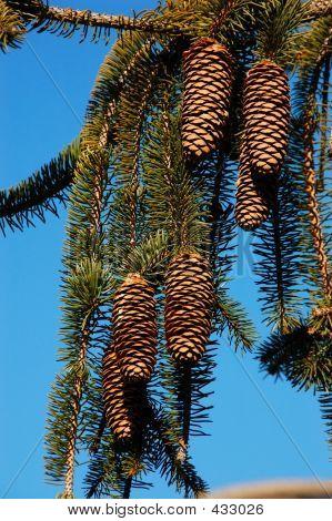Weeping White Pine Tree