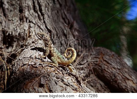 Curly-tailed Lizard