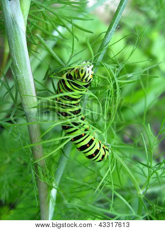 Papilio machaon sitting on the fennel