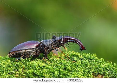 Rare Stag Beetle - Lucanus Cervus