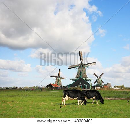 Green grass field with windmills, which graze groomed corpulent cow