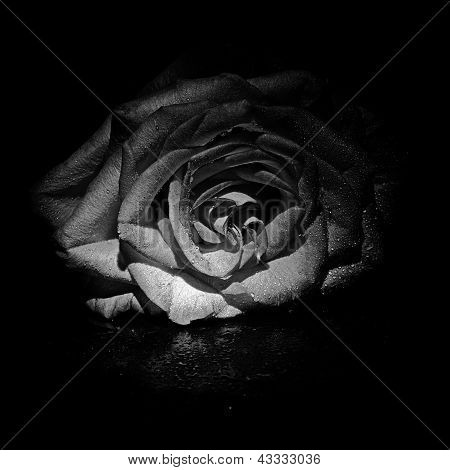 flower rose in black and white