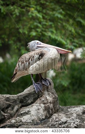 Spot-billed Pelican or Grey Pelican (Pelecanus philippensis)