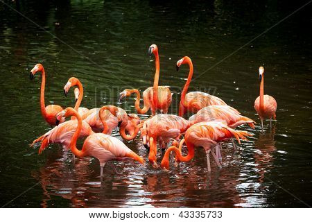 American Flamingo (Phoenicopterus ruber), Orange flamingo