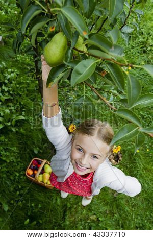Gardening, orchard - lovely girl picking of tree ripe pears