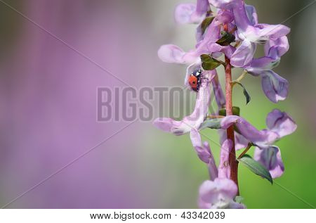 Spring background for design with a ladybug on a flower Corydalis