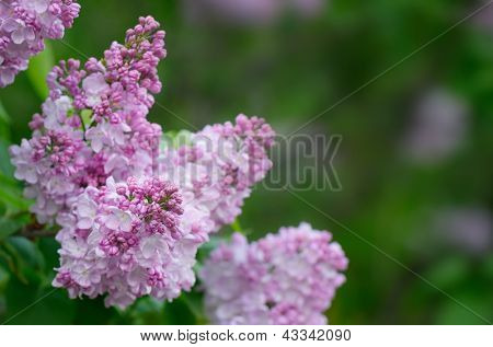 Beautiful lilac flowers on a background of green leaves
