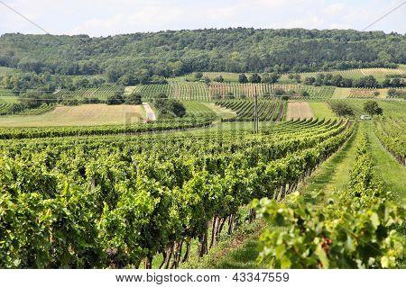 Burgenland Vineyard