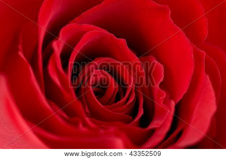 Macro photo of a red rose