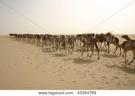 A camel caravan in the Sahara Desert