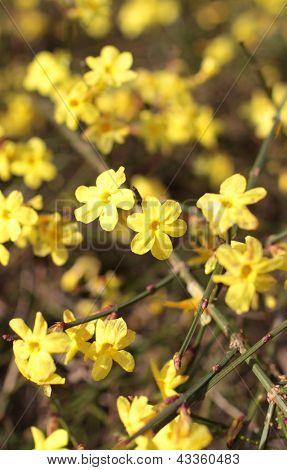 Yellow flowers of winter jasmine