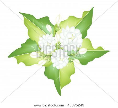 An Illustration Of Jasmine Flowers On White Background