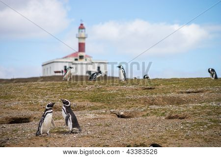 Two Penguins Looking For A Nest On Isla Magdalena Near Punta Arenas Lighthouse In The Bg