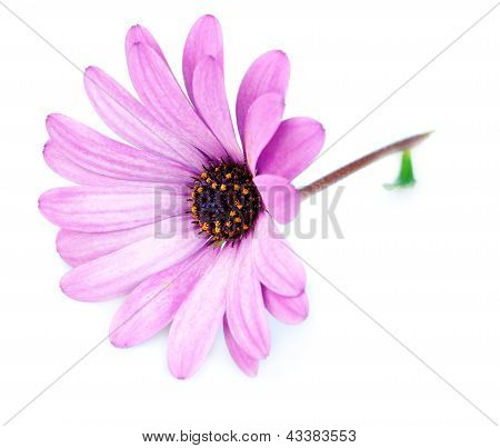 Purple Flower Osteospermum On A White Background.