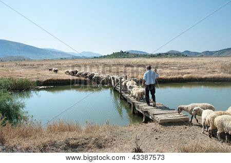 a shepherd is leading his flock on a wooden bridge to pasture, Butrint - Albania