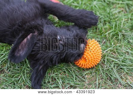 Standard Schnauzer Puppies Child