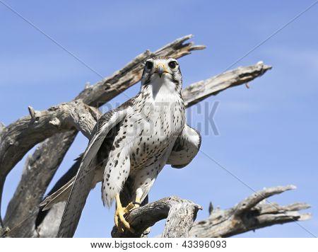 A Prairie Falcon Against A Blue Sky