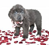 stock photo of newfoundland puppy  - Blue Newfoundland puppy with blue eyes standing with rose petals around her on a white background - JPG