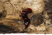 rusty nail on wood with blood drips focus on nail head