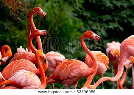 American or Caribbean Flamingo portrait