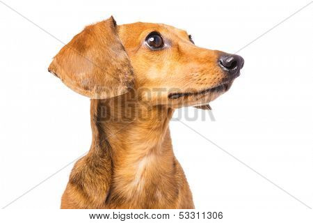 Dachshund Dog isolated on white