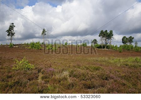 Thursley Common Dry Heath