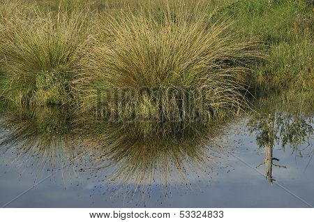 Grass Reflections in Bog Pool