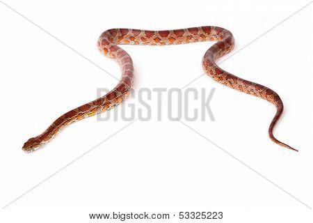 Snake On A White