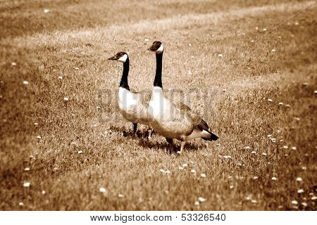 Pair of Canada Geese on Grass With Dandelions in Sepia