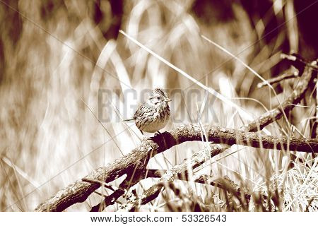 Pine Siskin on a Branch in Sepia